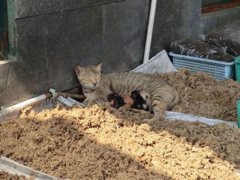 Katzenmama mit Babys in Kebun Raya Bogor