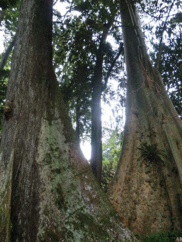 Ziemlich große Bäume in Kebun Raya Bogor