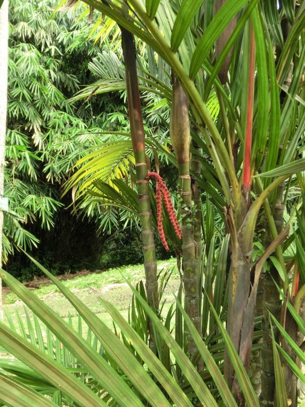 Oktopus-Palme in Kebun Raya Bogor
