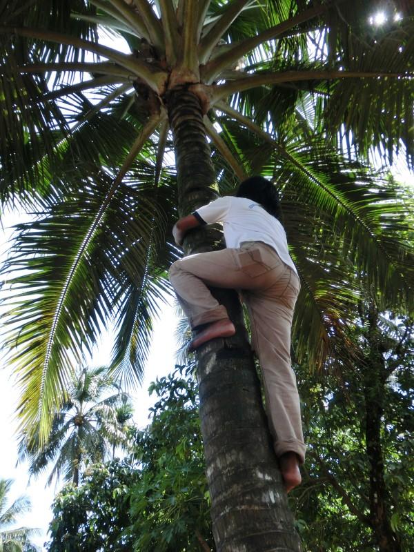 Sambas beim Klettern auf die Kokospalme