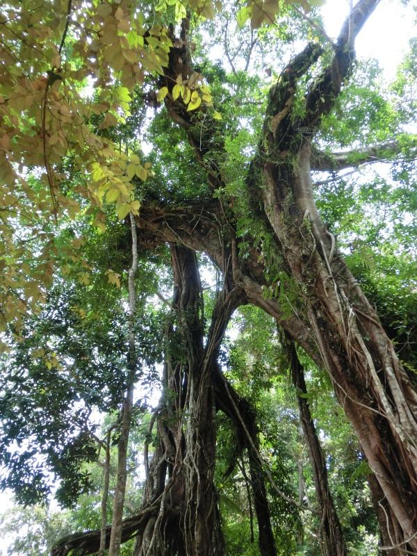 Riesenbaum im Nationalpark Pangandaran