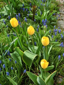 Tulpen und Traubenhyazinthen