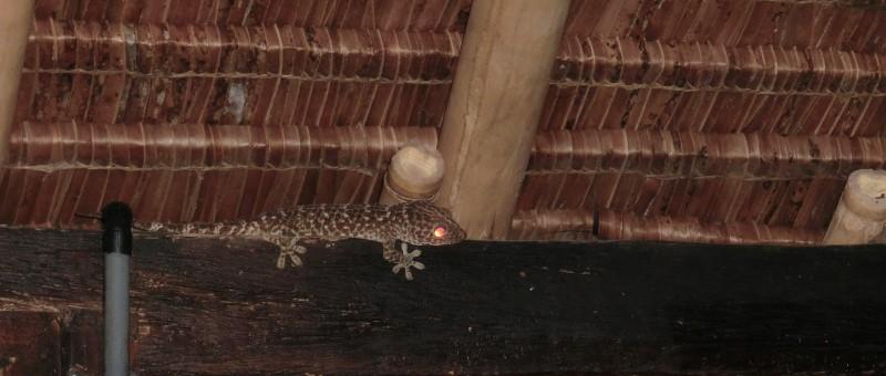 Riesen-Gecko